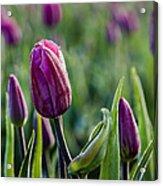 One Tulip Among Many Acrylic Print
