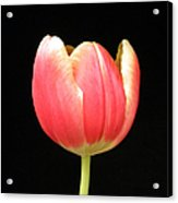 One Tulip Acrylic Print by Julie Palencia