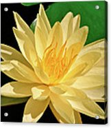 One Water Lily  Acrylic Print