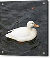 One White Duck Acrylic Print