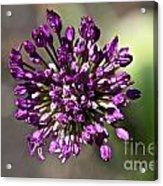 Onion Flower Acrylic Print