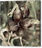 Onion Seed Heads Acrylic Print