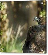 Only An Eagle Can Be As Sharp As An Eagle Acrylic Print