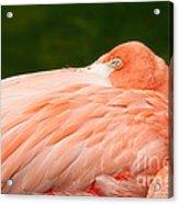 Flamingo With An Open Eye Acrylic Print