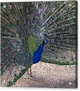 Open Feathers Acrylic Print