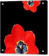 Open Tulip Acrylic Print