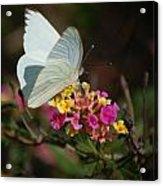 Open Wings Acrylic Print