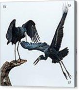 Openbill Storks Flying, Tarangire Acrylic Print