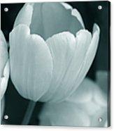 Opening Tulip Flower Teal Monochrome Acrylic Print