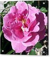 Opera Pink Frills Acrylic Print