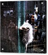 Opossum In The City Acrylic Print