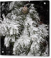 Opossum In The Pines Acrylic Print