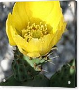 Opuntia Ficus-indica Flower Of The Prickly Pear Acrylic Print
