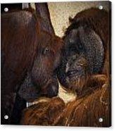 Orangatang Love Acrylic Print
