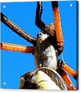 Orange And Black Spider Legs Acrylic Print
