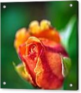 Orange And Fuschia Rosebud Acrylic Print