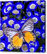 Orange And Gray Butterfly Acrylic Print