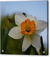 Orange And White Acrylic Print