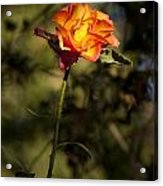 Orange And Yellow Rose Acrylic Print