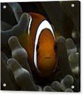 Orange Anemone Fish In Pale Anemone Acrylic Print
