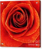 Orange Apricot Rose Macro With Oil Painting Effect Acrylic Print