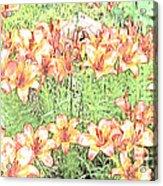 Orange Asiatic Lilies Acrylic Print