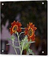 Orange Asters Acrylic Print