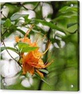 Orange Azalea Delight Acrylic Print