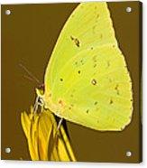 Orange Barred Sulfur Butterfly Acrylic Print
