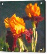 Orange Bearded Irises Acrylic Print