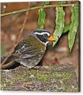 Orange-billed Sparrow Acrylic Print