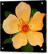 Orange Blossom Acrylic Print