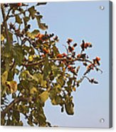 Orange Blossom Of Kesuda Blue Sky Acrylic Print