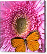 Orange Butterfly On Pink Daisy Acrylic Print