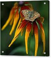 Orange Butterfly With Black Dots Sitting Onthe Red And Yellow Long Petaled Flowers Acrylic Print
