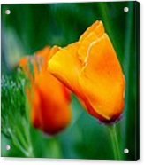 Orange California Poppies Acrylic Print
