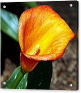 Orange Calla Lilly Flower In The Garden Acrylic Print