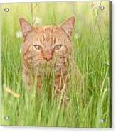Orange Cat In Green Grass Acrylic Print