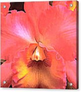 Orange Cattleya Orchid Acrylic Print