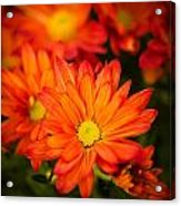 Orange Chrysanthemum Acrylic Print