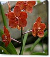 Orange Colored Orchid Acrylic Print