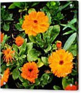 Orange Country Flowers - Series I Acrylic Print