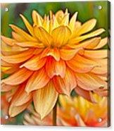 Orange Cream Dahlia Acrylic Print