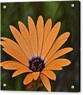 Orange Cream Acrylic Print