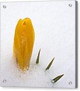 Orange Crocus Covered With Snow Acrylic Print