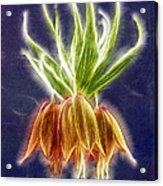 Orange Crown Imperial Flowers Fritillaria Imperialis Acrylic Print