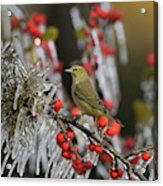 Orange-crowned Warbler (vermivora Celata Acrylic Print