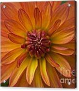 Orange Dahlia Blossom Acrylic Print