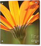 Orange Daisy Acrylic Print