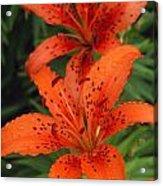 Orange Day Lilies Acrylic Print